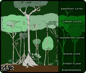 rainforestlayers (1)